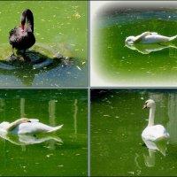Лебеди :: Нина Бутко