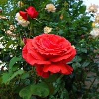 Август...Розы... :: Galina Dzubina