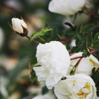дикая роза :: Tasha