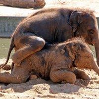 Слоновьи шалости 2 :: Alexander Andronik
