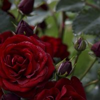 Роза розеточная :: Albina Lukyanchenko
