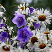 Цветы полевые - в  них радость  особая...! :: Валерия  Полещикова