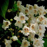Цветение катальпы :: Нина Бутко