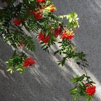 Ветка рябина на фоне стены :: Маргарита Батырева