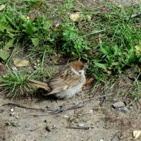 Желторотик  выпал из гнезда. :: Мила Бовкун