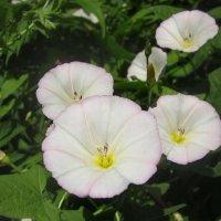 flower :: OLLES