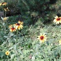 Рудбекии в саду :: Дмитрий Никитин