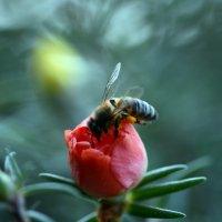 Пчела на портулаке :: Олег Шендерюк