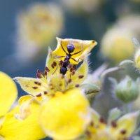 Муравей на цветке :: Erizo Espinoso