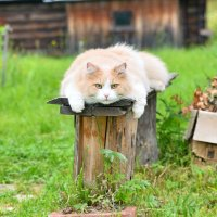 деревенский котик :: Наталия Кожанова