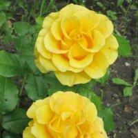 Две  розы жёлтых :: Дмитрий Никитин