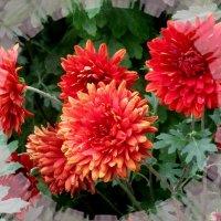 Хризантемы :: Нина Бутко