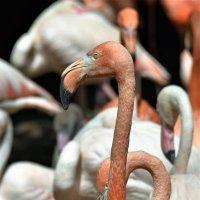 Фламинго. :: Елена Савчук