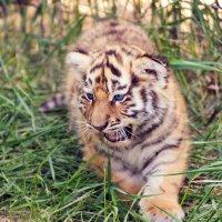 маленький хищник :: Сергей