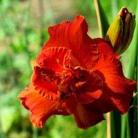 Цветочек аленький. :: Tatyana