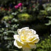 Роза :: Sergey Lebedev
