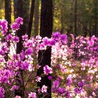Багульник цветёт :: Марина Кириллова