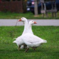 Два веселых гуся :: Оксана Галлямова