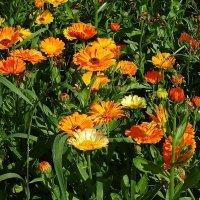 Ноготки - солнца красного цветки :: Маргарита Батырева