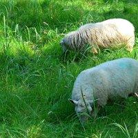 Овцы :: Nina Yudicheva