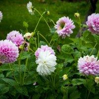 Цветок августа :: Елена Митряйкина