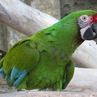 И зелёный попугай! :: Ирина Олехнович