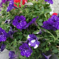 Городские цветы :: Елена Павлова (Смолова)