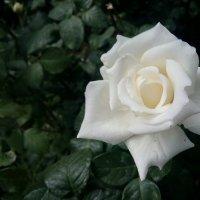 Роза :: Serg