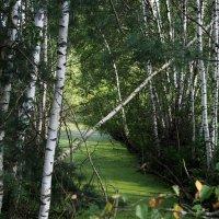 берёзовый лес Подмосковья :: elena manas