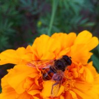Пчела на цветке :: Татьяна Королёва