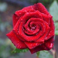 Осенняя роза. :: Наталья