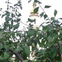 Заметки селекционера: божественные помидоры растут на фруктовых деревьях!... :: Алекс Аро Аро