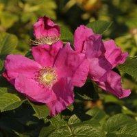 цветы шиповника :: оксана