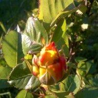 Солнечная роза :: Евгения Коркунова