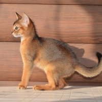 абиссинский котенок :: Наталия Кожанова