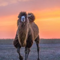 Верблюд на закате :: Фёдор. Лашков