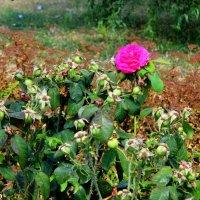 То ли роза, то ли шиповник :: Нина Бутко
