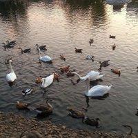Лебеди в Московском зоопарке. :: Наталья Владимировна