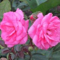 Две розы розовых :: Дмитрий Никитин