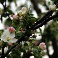 Цветение яблони :: Александр Качалин
