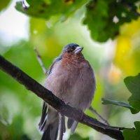 птичка-невеличка :: Ольга (Кошкотень) Медведева