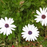 Цветы, похожие на снежинки :: татьяна