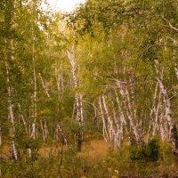 Осенний лес. Берёзы. :: Андрей Страхов