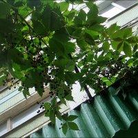 Дикий виноград спасает от жары, кормит птиц и радует нас красотой :: Нина Корешкова