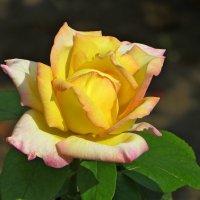 Осенние розы цветут по-осеннему ярко :: Татьяна Смоляниченко