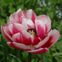 Пёстрый тюльпан :: Светлана Лысенко