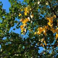 Первые пряди жёлтых листьев :: Анатолий Иргл
