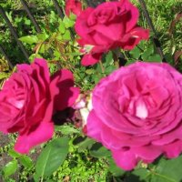 Три темных розы :: Дмитрий Никитин