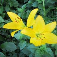 Жёлтая лилия :: Дмитрий Никитин