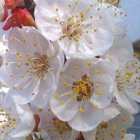 Цветение абрикоса :: Андрей Страхов